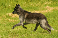 Wolf. Canadian wolf Stock Photo