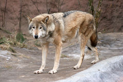 Wolf. The gray wolf in the zoo Royalty Free Stock Image