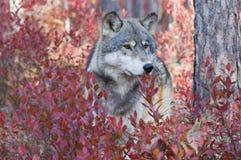 wolf Arkivfoto