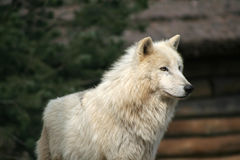 Wolf. In zoo royalty free stock photography