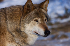 Wolf. Female gray wolf (canis lupus) standing in snow royalty free stock images