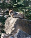 Wolf stock afbeelding