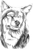 Wolf. Illustration, Pencil sketch of wolf Stock Images