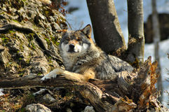 Wolf. A wolf resting and appearing relaxed, on a pile of rocks looking directly at the camera Royalty Free Stock Photography