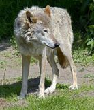 Wolf 9 royalty free stock image