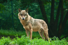 Wolf. One wolf standing on green hillock and look at photograph Stock Photos