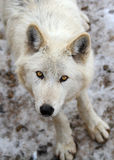 Wolf. Grey wolf staring at camera Stock Image