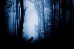 Wolf in achtervolgd bos met mist royalty-vrije stock afbeeldingen