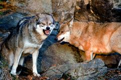 Wolf afraid. Omega Wolf was afraid,  National Park Stock Image