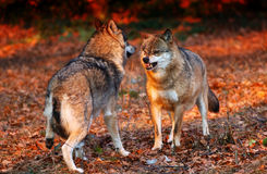 Wolf afraid in sunset. Two snarling wolves in autumn leaves Royalty Free Stock Images