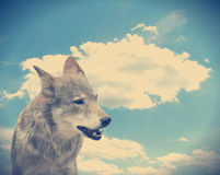 Wolf against the sky Royalty Free Stock Image