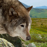 Wolf  against wildness area. Head of wolf  against wildness area Stock Photo