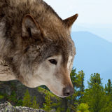 Wolf  against wildness area. Head of wolf  against wildness area Royalty Free Stock Photography