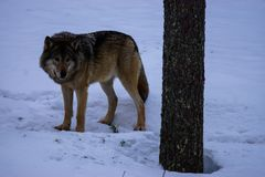 Wolf in winter Lapland, Finland. Wolf alone in cold winter day Lapland, Finland royalty free stock photography