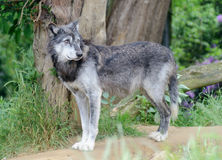 Wolf Alone Royalty Free Stock Photography