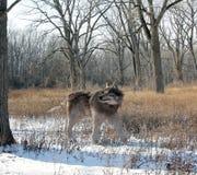 Wolf Alone In The Woods terribile Fotografia Stock Libera da Diritti