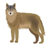 Wolf. Animal wolf brown gray color Royalty Free Stock Photography