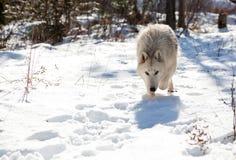 Wolf-anpirschendes Opfer Lizenzfreies Stockfoto