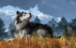 Free Wolf At Rest Stock Image - 134394141