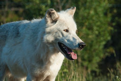 Wolf at attention. An attentive wolf looks off to the right Royalty Free Stock Photo