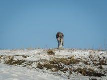 Wolf auf Berg im Winter mit Hintergrund des blauen Himmels Lizenzfreies Stockbild