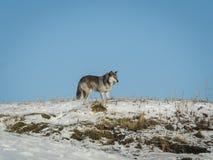 Wolf auf Berg im Winter mit Hintergrund des blauen Himmels Stockfoto