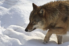 Wolf auf dem Prowl Stockbilder