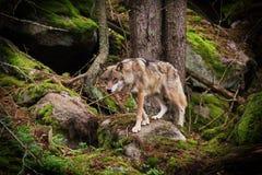Wolf auf dem Stein stockfoto