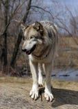 Wolf auf einem Protokoll Lizenzfreies Stockfoto