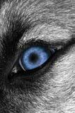 Wolf-Auge - blauer Lizenzfreies Stockfoto