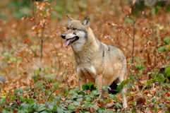 Wolf in the Autumn. The gray or grey wolf often known as the wolf only Royalty Free Stock Photos