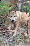 Wolf in autumn forest royalty free stock image