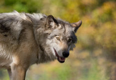 Wolf during autumn Stock Images