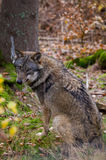 Wolf in the autumnal wood Stock Images