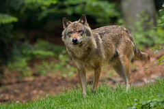 Wolf. In the Bavaria Forest Royalty Free Stock Photos
