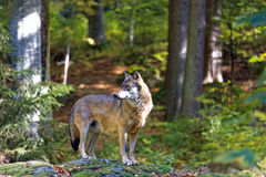 Wolf. In the Bavarian Forest stock photos