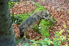 Wolf at bavarian forest national park Stock Images