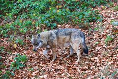 Wolf at bavarian forest national park Royalty Free Stock Photography