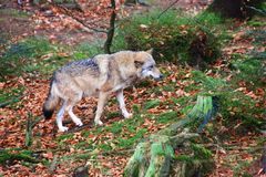 Wolf at bavarian forest national park Royalty Free Stock Photos