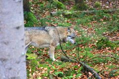 Wolf at bavarian forest national park Royalty Free Stock Image