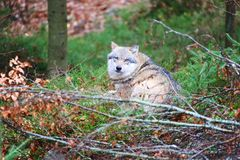 Wolf at bavarian forest national park Stock Photography