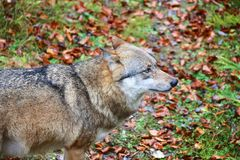 Wolf at bavarian forest national park Stock Photos