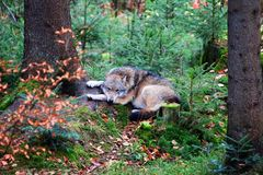 Wolf at bavarian forest national park Royalty Free Stock Images