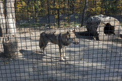 Wolf behind fence in cage 02 Stock Photos
