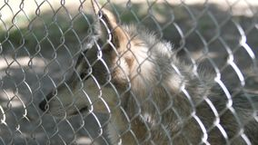 Wolf behind the fence in zoo