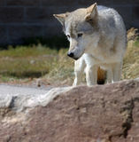 Wolf Behind Rock. Timber wolf standing behind rock looking to left royalty free stock photography