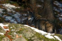 Wolf behind rock. Wolf in Wood Royalty Free Stock Photos