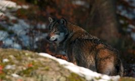 Wolf behind rock. Wolf in wood Royalty Free Stock Images