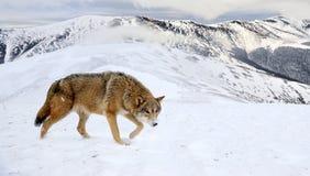 Wolf in berg stock foto