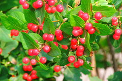 Wolf berry. Inedible beautiful berry bushes growing in eastern Siberia, look beautiful in the sunlight royalty free stock image